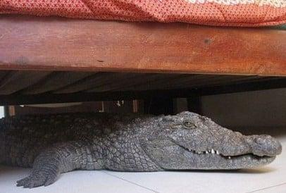 crocodile-under-bed